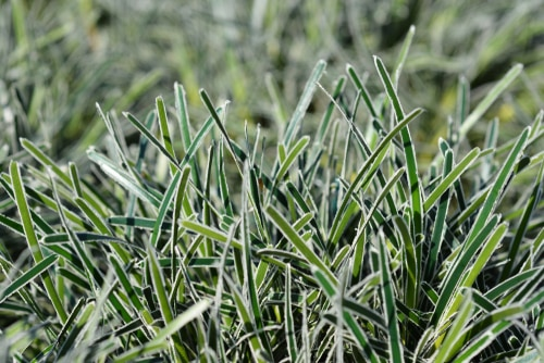 This smaller ornamental grass stays small, and at full maturity spans no more than 30cm in height and spread, making it easily contained in pots of any kind. It is an evergreen perennial that produces recurved hunter green leaves lined with white margins responsible for the frosty look for which it is named.