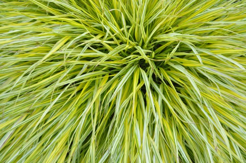 Grow this in well-drained soil, with partial shade or full shade. An ornamental grass it has beautiful green, yellow foliage, turning reddish tinged in autumn and produces seed heads, which makes it stand apart from many other ornamental grasses. Plant in fertile well-drained soil and a sheltered or exposed position. Finally, it is somewhat of a smaller type of grass only growing to around 20-30cm.