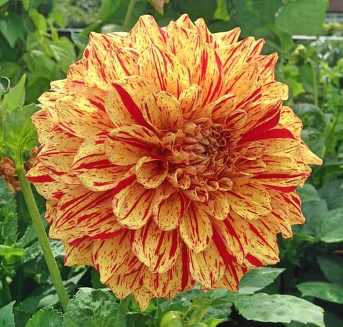 Painted Madame Dahlia with yellow and red striped petals