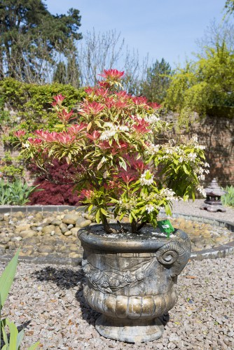 Pieris Forest Flame in pot - These plants prefer protection against wind and they do well if they get dappled afternoon shade. It will span approximately 1 metre or more in height and spread. Between the months of March and April, you can enjoy white flowers that are very showy and can be deadheaded immediately after flowering to encourage more clusters.