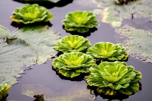 This is a freely floating aquatic plant that you should add to your pond for the texture it provides. The roots are feathery and span upwards of 20cm.