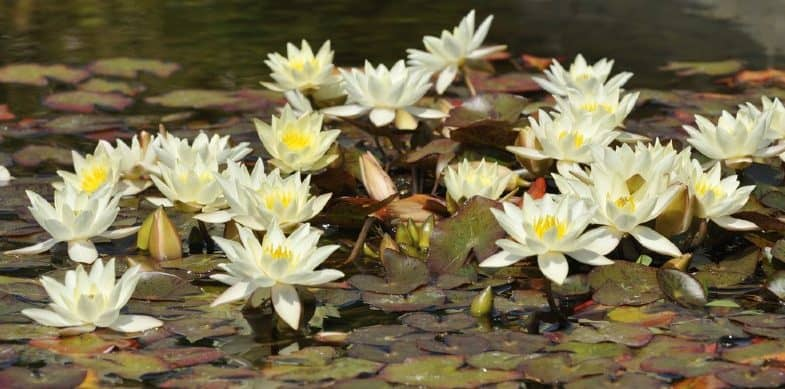 Best Pond Plants For Small Ponds – Our favourite picks