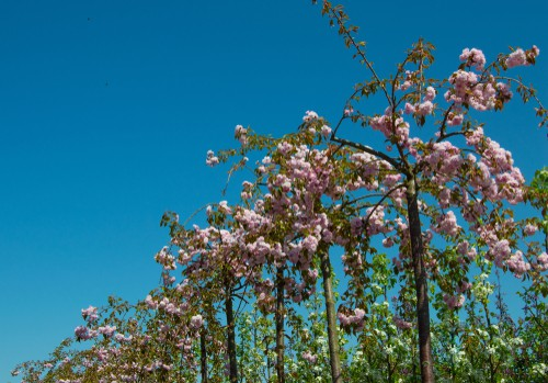 This deciduous tree is also known as a flowering cherry has arching branches that are graceful enough on their own but end up smothered with double, richly pink flowers which makes it all the more impressive.