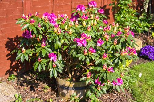 Having seaweed and sequestered iron additives mixed with regular fertiliser can help your Rhododendron foliage if you already have neutral or acidic soil. It's effective especially in pots where the cause of the yellow leaves is hard water. Adding the essential nutrients once the supply has been exhausted will correct just about any issue your Rhododendron is having which is the good news.