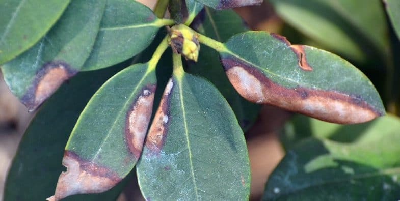 Rhododendron pests, diseases and other problems
