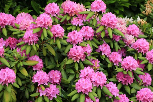 Rhododendrons offer spectacular flowers but they are among a particular group of plants that require acidic soil in order to thrive. While most plants can tolerate a wide range of soil types, rhododendrons cannot. They will not tolerate alkaline soil and if they are exposed to it, their leaves will turn yellow, their growth will be stunted, and eventually, they will stop growing entirely and look very sickly.