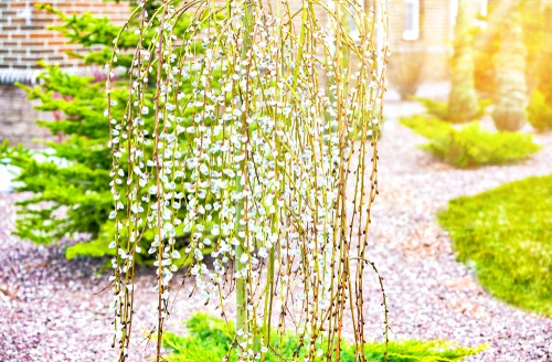 Taking on an umbrella shape, this tree is one with an exquisite, graceful form. The weeping shape as wonderful texture to any garden. Every Spring you can watch as the pussy willow buds start out in a rich yellow shade and then eventually fade to grey. If you want to enjoy texture and winter flower arrangements you can even cut those stems with their buds and integrate them in your home.