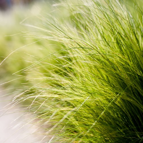 Mexican feather grass, as it's commonly known, grows in graceful tufts of thread-like leaves. These leaves are often seen dancing in the wind, moving about with even the slightest of provocation. Throughout summer the top of the silvery green leaves brings feathery panicles that are often dried and used in floral arrangements. Grows well in full sun in both sheltered and exposed sites.