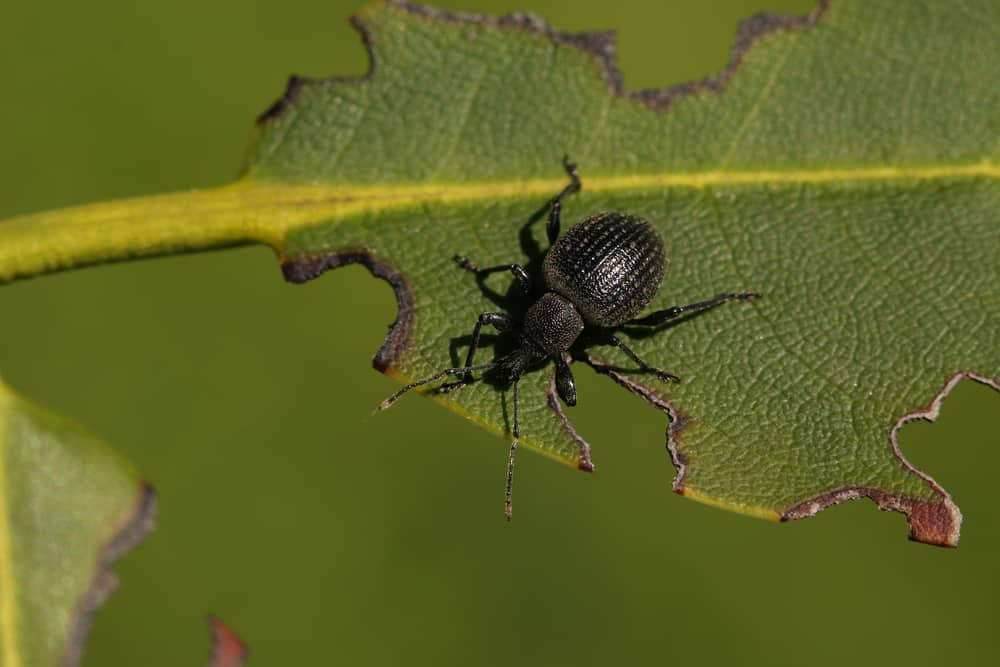 One last reason you may have dropping leaves is because of vine weevil beetles and their grubs, this is more of a problem for plants that are grown in pots. Although adult vine weevil eats the leaves, usually around the edge of the leaves, it is the baby grubs that live in the soil and look similar to a maggot that causes the most damage as they eat the roots. Eventually, causing enough damage that the root system cannot support the plant and the first sign is usually the leaves start to droop. You can buy pesticides especially for vine weevil and it can be applied as a drench to the soil.