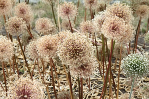 allium care after flowering