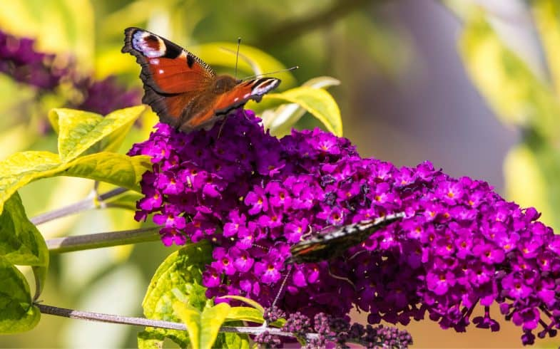 8 Best plants for butterflies – Nectar plants which attract butterflies into your garden