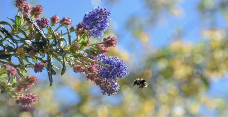 Top 10 Best shrubs for bees – Stunning flowering shrubs To help Bees