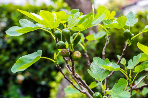 Brown turkey is a classic fig tree to grow in the UK and is the ultimate choice for most people. It produces a lot of tasty fruit and we'll thrive outside in the ground or in large containers.