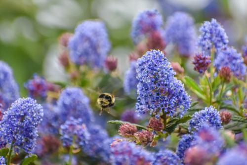 The California lilac is fast-growing, stunning flowers, equally stunning foliage, drought-tolerant, and salt tolerant. It's a wonderful Coastal plant. ideal for attracting bees