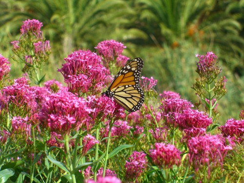 This fragrant, butterfly-attracting plant is best grown in sandy or average soil that is well-drained and exposed to either full sun or partial shade.