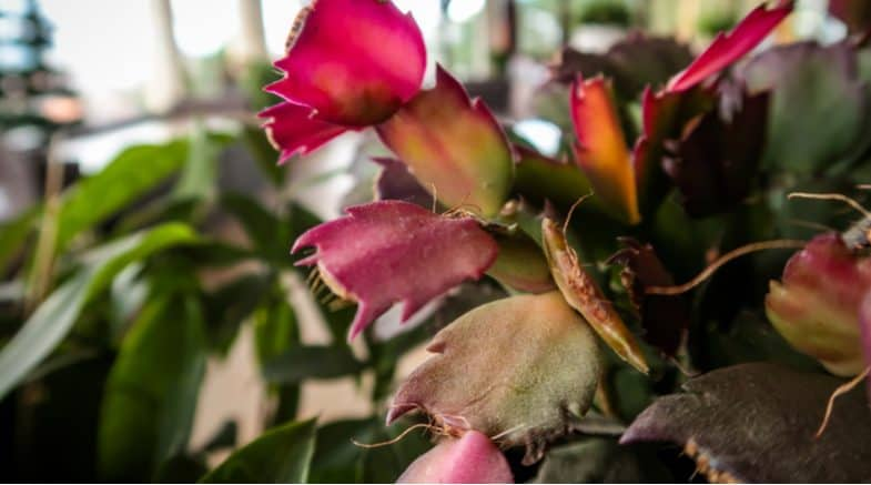 Christmas Cactus Problems – Bud drop, poor flowering, wilting and more