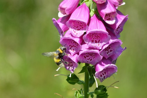 Foxgloves grow well in full sun or partial shade and prefer moist well-drained soil but with almost grow anywhere. They are generally a short-lived perennial but often self-seed so it can be a good idea to deadhead before the seeds drop if you want to control the spread of foxgloves. A must-have for any bee-friendly garden.