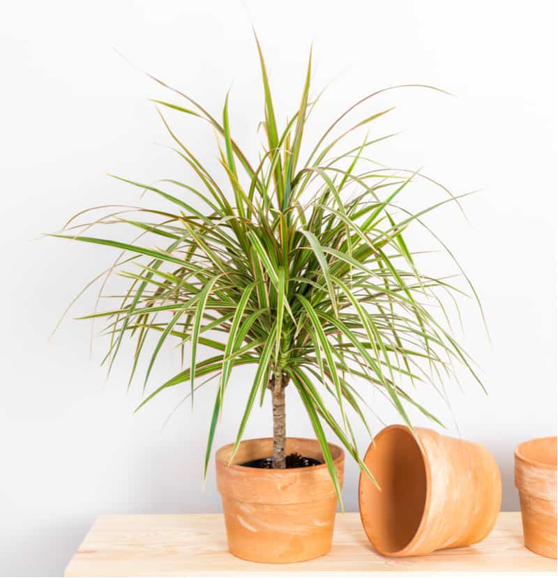 The stunning dragon tree will not take up a lot of space in density, but it can grow up to 2 metres in height if allowed and is believed to remove toxins including xylene, trichloroethylene, and formaldehyde.