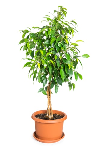 The weeping fig is a popular house plant for homes and offices alike and is another plant that was featured on NASA list of air purifying plants.