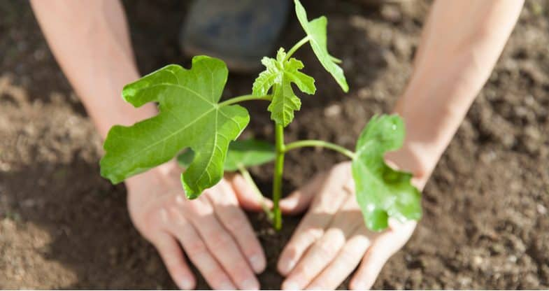 Growing fig trees – the beginner's guide
