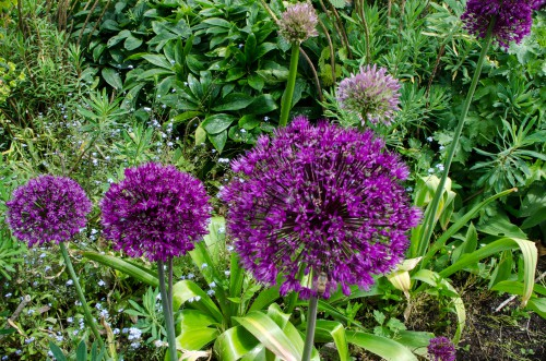 growing alliums in the ground
