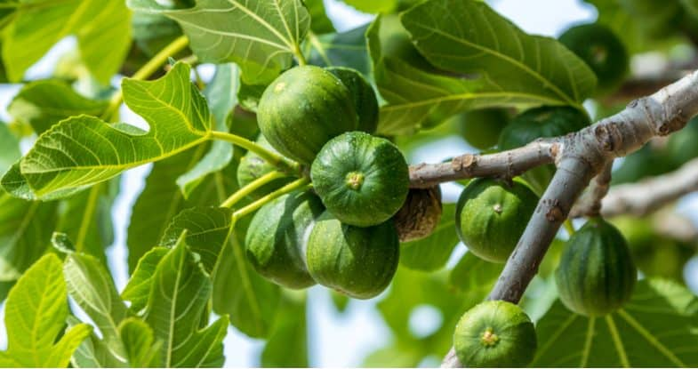 Growing figs in pots and containers