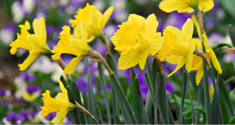 How to plant daffodil bulbs