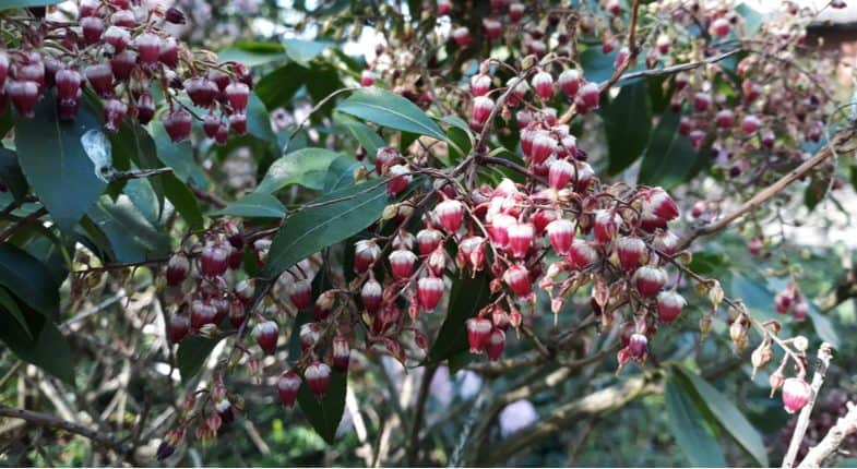 How to Prune Pieris – General and hard pruning overgrown plants