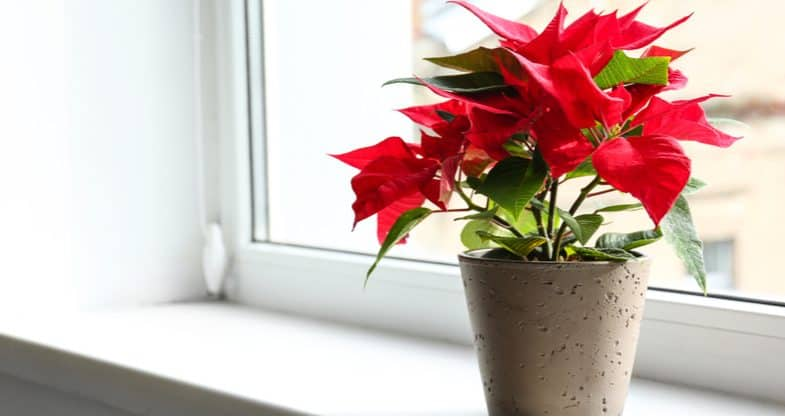 How To Turn Poinsettia Red Again When It Turns Green