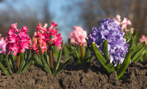 Native to the Mediterranean, these fragrant flowering bulbs are a wonderful addition to any garden. They come in an array of colours, and you can even find a spectrum of blues ranging from soft, baby blues to rich, sea and sky blues.