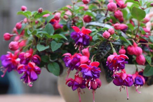 Plant Fuchsias - plant in early summer when the risk of frost has passed