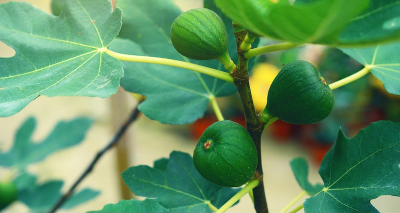 Pruning fig trees in pots will help improve the fruit they produce, it's usually a good idea to prune to around half the size when you first plant it. You . then want to choose your fruiting branches and remove the rest including and dead or diseases branches.