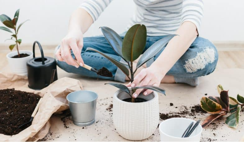 Rubber plant care – the beginner's guide