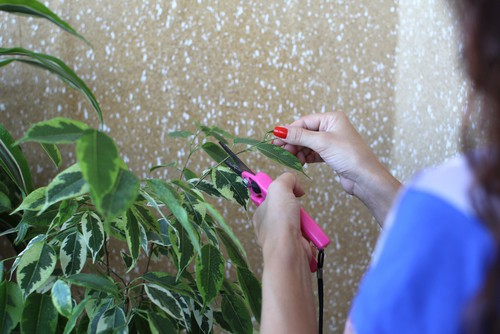Taking rubber plant cutting