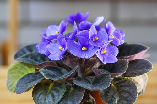 As the name suggests, these small indoor plants offer stunning violet flowers, juxtaposed by the verdant leaves giving your small room or apartment a splash of colour. They thrive indoors and are very easy to maintain, giving you flowers almost all year round if cared for.