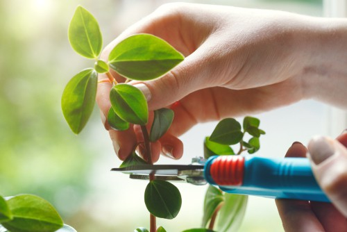 Taking cutting From houseplant