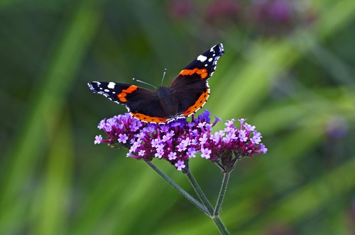 Verbena bonariensis is A rapid growing perennial, you can enjoy dark green leaves from which rise slender stems which produce clusters of small, rose violet coloured flowers. Between mid-summer and autumn, you can enjoy a rather showy display of flowers and the Monarch butterflies in particular