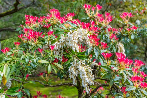 Watering and feeding pieris forest flame