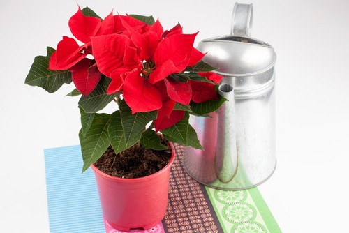 Watering poinsettias and feeding