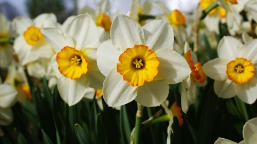 Where to plant bulbs