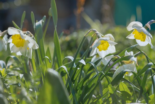 caring for daffodils bulbs after flowering