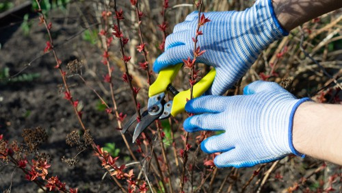 If your shrub is deciduous and flowers between July and October, prune in spring. These plants include Spirea japonica