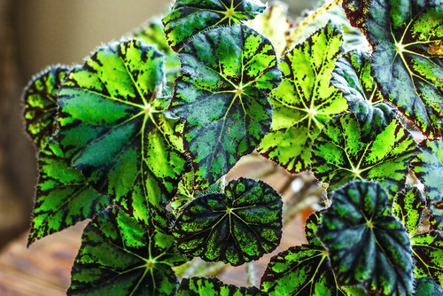 Begonia Tiger paws offers rounded leaves that have large markings on them. This is a difficult variety to grow and is not something you should tackle your first year because it has to be grown under glass for the majority of the year
