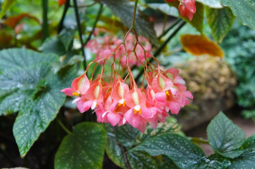 How to grow Begonias