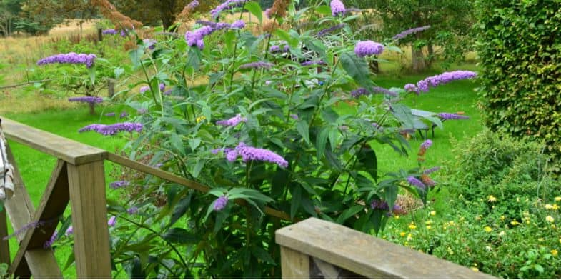 Buddleia Care Guide – The beginner's guide to growing butterfly bushes