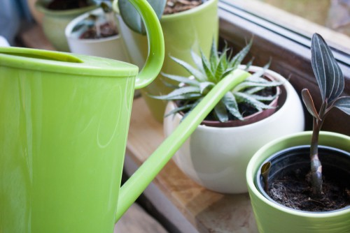 Caring for Aloe Vera plants