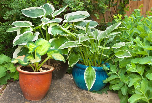 Choosing a pot for Hostas