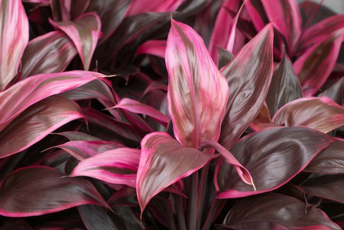 You can also keep them as houseplants the entire year. C. Fruticosa has tri-coloured leaves, red-edged varieties, or plain green leaves depending on what you prefer.