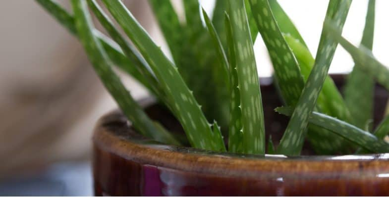 Growing Aloe Vera Plants – The beginner's guide