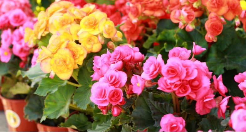 Growing Begonias – Planting, Care, Propagation, Feeding and more